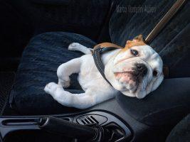 Viaggiando col mio Bulldog d'estate